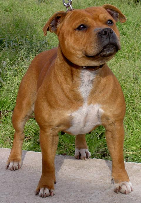 Bull terrier Staffordshire